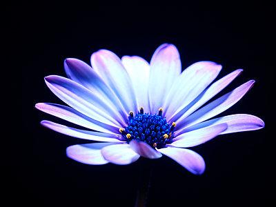 Blütentraum - p885m2176140 von Oliver Brenneisen
