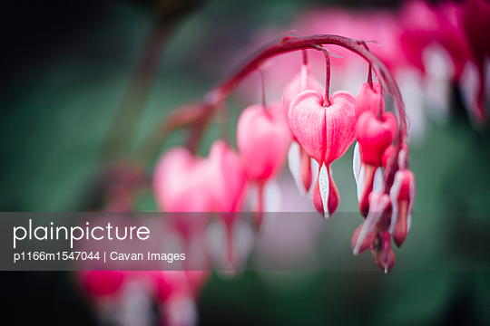 Close-up of bleeding heart (dicentra spectabilis) flowers blooming outdoors - p1166m1547044 by Cavan Images