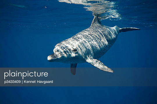 An Indo Pacific Bottlenose dolphin swimming in the blue - p3433409 by Kennet Havgaard