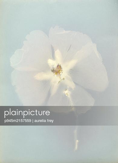 Getrocknete Blume - p945m2157559 von aurelia frey