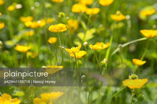 p429m1155718 von Nancy Honey