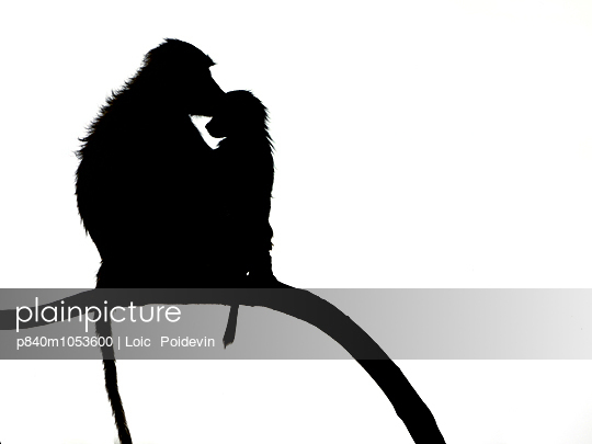 Yellow baboon  baby and mother on branch, silhouetted, Nakuru, Kenya, October. - p840m1053600 by Loic  Poidevin