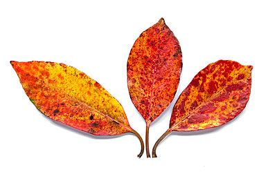 Rhododendronblätter - p1562m2187017 von chinch gryniewicz