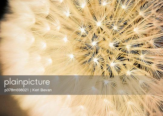 Dandelion seed head - p378m698021 by Keri Bevan