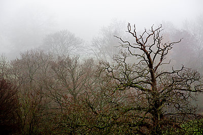 Leafless trees shrouded in fog - p1057m2044761 by Stephen Shepherd