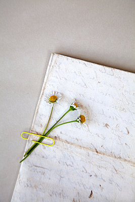 Three daisies placed on old letter  - p1248m2289354 by miguel sobreira