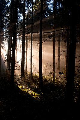 Sonenstrahlen im Fichtenwald - p533m955728 von Böhm Monika
