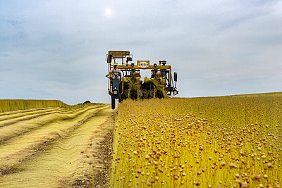Combine harvester on linseed field - p915m2056654 by Michel Monteaux