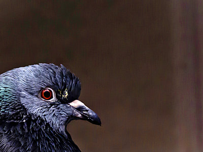 Pigeon - p558m881838 by A.da Cunha