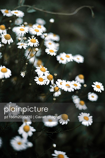 Closeup on white chamomile flowers - p1166m2095230 by Cavan Images
