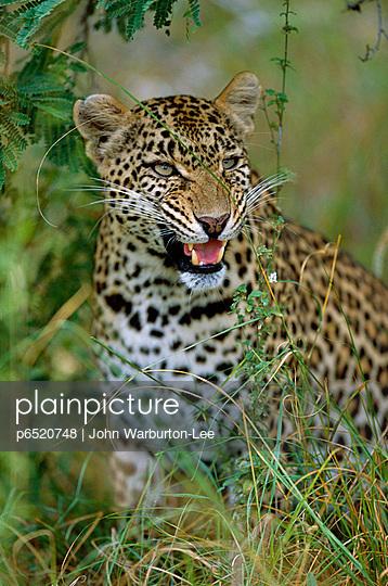 Leopard - p6520748 by John Warburton-Lee