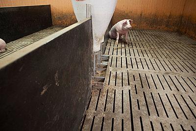 Schwein auf Spaltenboden - p1058m817159 von Fanny Legros