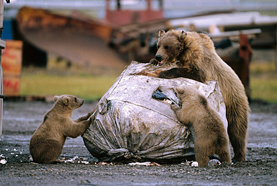 Grizzly Bear sow and two cubs feeding at garbage dump - p884m863032 by Yva Momatiuk & John Eastcott