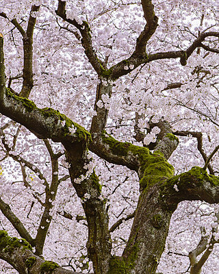 Frothy pink cherry blossom on cherry trees in spring in Washington state, USA - p1100m876855f by Paul Edmondson