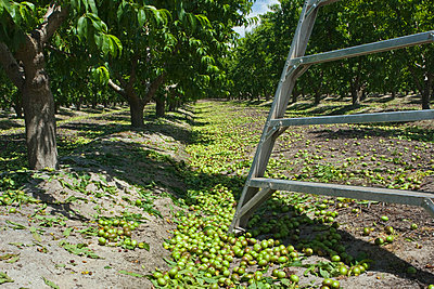 Agriculture - Immature nectarines on the orchard floor after thinning in Spring, with the base of a ladder in the foreground. Removing a portion of the fruit from the trees results in larger yields of better quality fruit / near Dinuba, California, USA. - p442m1033672f by Steve Goossen