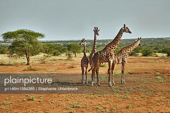 Giraffengruppe - p1146m1584385 von Stephanie Uhlenbrock