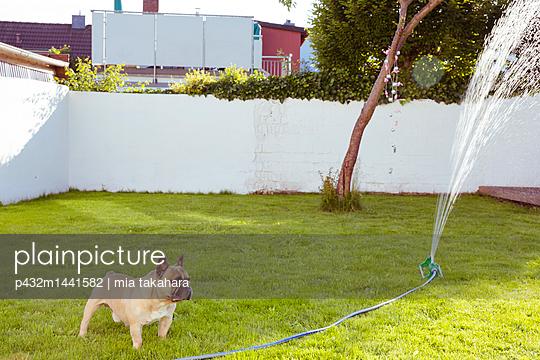 Französische Bulldogge steht im Garten - p432m1441582 von mia takahara