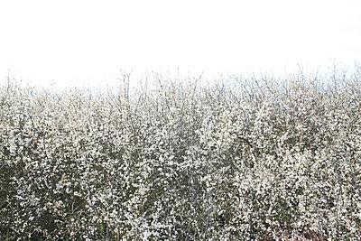 Weiß blühende Pflanzen - p1289m2089469 von Elisabeth Blanchet
