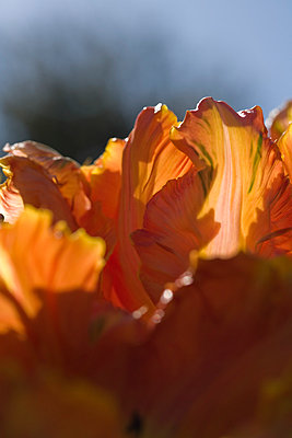 Tulip - p495m793588 by Jeanene Scott