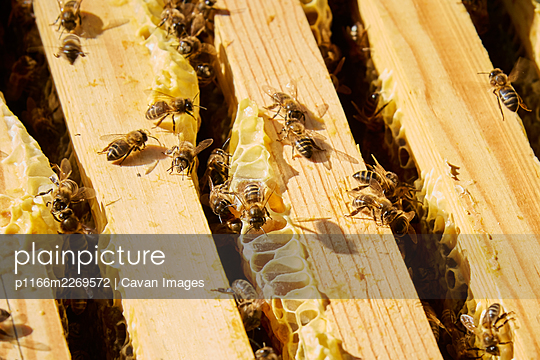 Some bees working to achieve the sweet honey - p1166m2269572 by Cavan Images