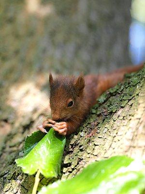 Knabberndes Baby-Eichhörnchen - p1376m1588928 von Melanie Haberkorn