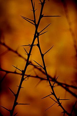 Long-Stalked Peashrub spikes (Caragana brevispina) - p1028m2248719 by Jean Marmeisse