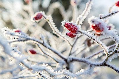 Rose hips in winter - p1057m959305 by Stephen Shepherd
