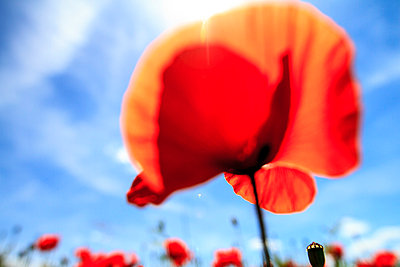Poppy - p417m815056 by Pat Meise