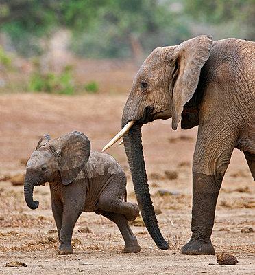 A baby elephant scratching itself after leaving a waterhole in Tsavo East National Park. - p652m716805 by Nigel Pavitt