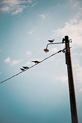 Krähen auf Stromleitung - p795m1045267 von Janklein
