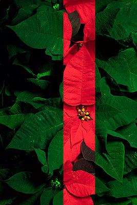 Poinsettias  - p919m2230934 by Beowulf Sheehan