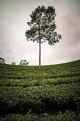 Tea Plantations near Doan Hung in Yen Bai Province, Vietnam - p934m1022146 by Sebastien Loffler