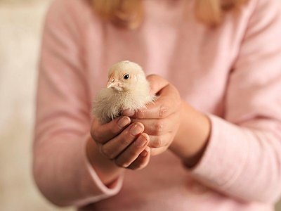 Girl's Hands Holding Chick - p4293969f by Monty Rakusen
