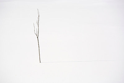 Bare tree in snow - p4342269f by Perfect Pictures