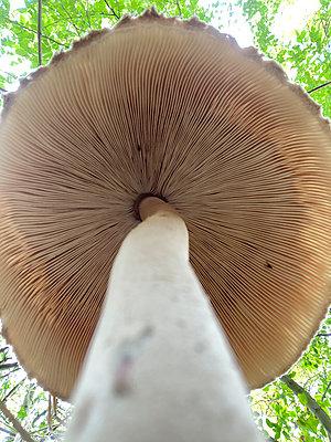 Mushroom, underside, detail, worm's eye view - p958m2290820 by KL23
