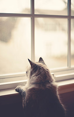 Ragdoll cat - p1617m2206331 by Barb McKinney