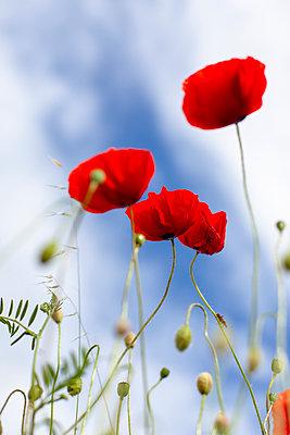 Poppy field - p795m2160953 by JanJasperKlein