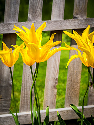 Yellow tulips - p968m892028 by roberto pastrovicchio