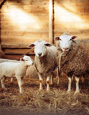 Lamb - p1197m995486 by Stefan Bungert
