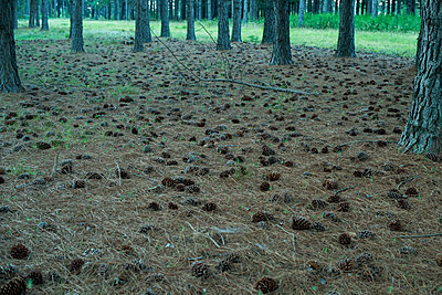 Fallen pine cones on forest ground - p623m1495137 by Frederic Cirou