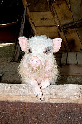 Neugieriges Schwein - p451m2089789 von Anja Weber-Decker
