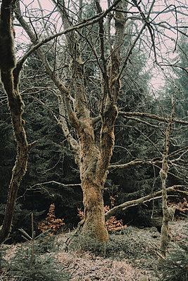Knorriger Baum im Herbst - p1184m1424747 von brabanski