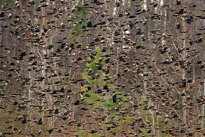 Blackbird flock flying in front of trees - p1480m2229504 by Brian W. Downs