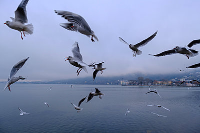 Austria, Vorarlberg, Bregenz, Seagulls flying over Lake Constance - p300m2256132 by Lisa und Wilfried Bahnmüller