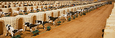 Agriculture - Rows of calf hutches with Holstein dairy calves being bottle fed at a dairy / Willard, Minnesota, USA. - p442m905822 by Timothy Hearsum