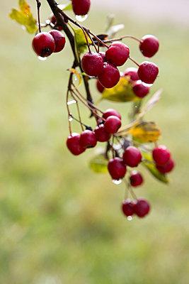 Berries - p454m764435 by Lubitz + Dorner