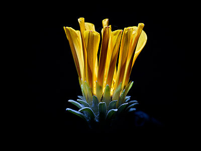 Glowing flower corolla - p885m2175113 by Oliver Brenneisen