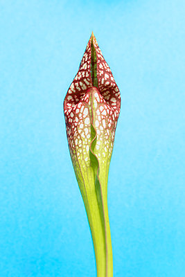 Pitcher plant against blue background - p919m2217710 by Beowulf Sheehan