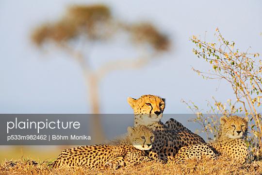 Gepardenfamilie - p533m982462 von Böhm Monika
