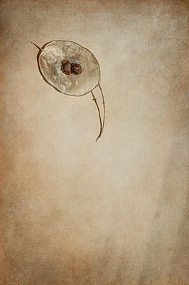 Single dried honesty leaf with seeds - p1047m1071890 by Sally Mundy